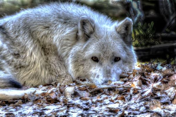 wolf pack, yellowstone