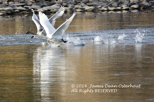 Swan valley swans