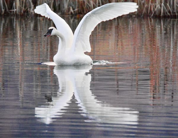 swan valley idaho, trumpeter swans,south fork of the snake river