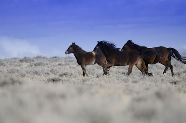 wild mustangs of wyoming
