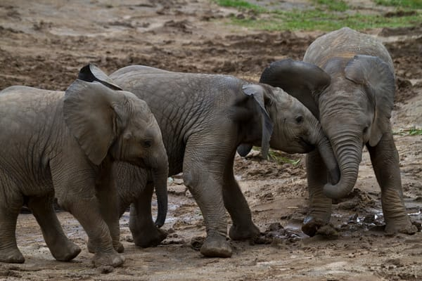 Wildlife Photography | Elephants at Play by Leighton Lum
