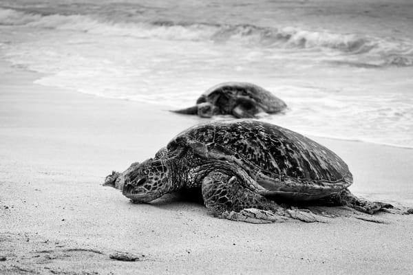 Hawaii Photography | Turtle Race by Leighton Lum