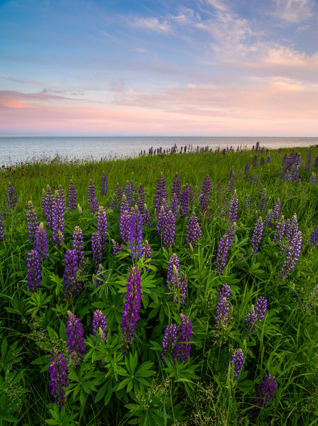 Lupines along Lake Superior, MN