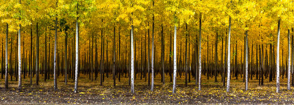 Poplars at the Boardman Tree Farm, OR