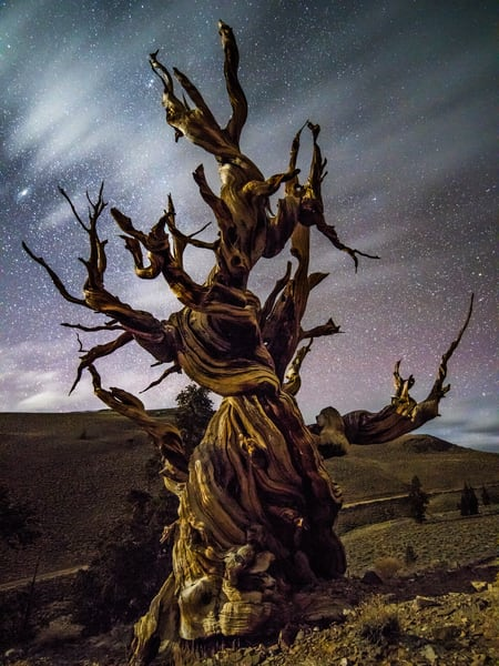 Beyond Time Ancient Bristlecone Pine Forest