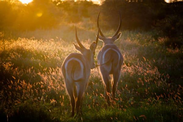 Africa, photography, springboks, South Africa, African Wildlife, Kruger National Park