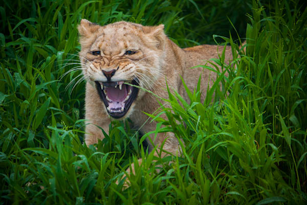 photography, lion, South Africa, African Wildlife,