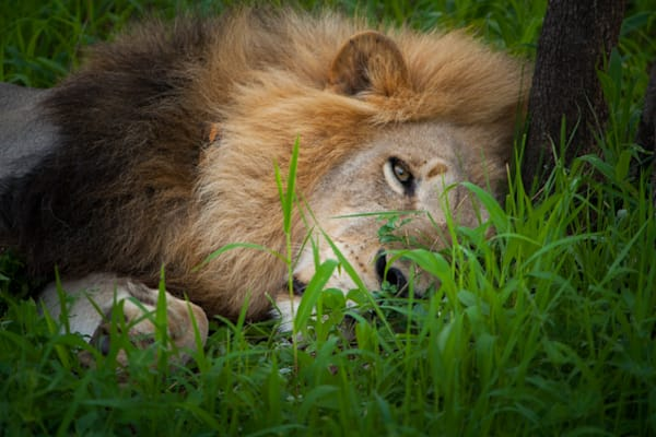 photography, lion, South Africa, African Wildlife, Kruger National Park