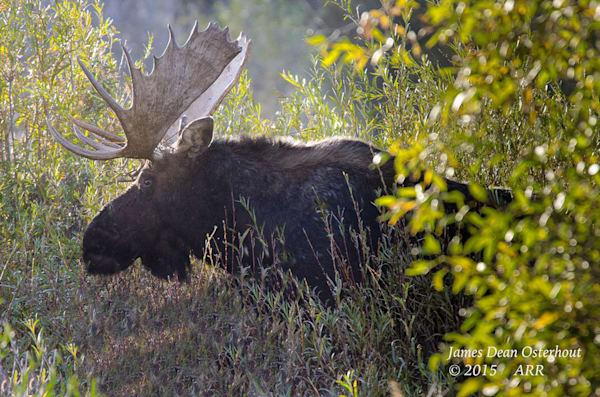 Bull Mosse 4 Ftw T0k2pr Photography Art | Swan Valley Photo