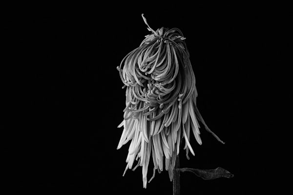 Bad Hair Day Photograph of a Flower | Susan Michal Fine Art