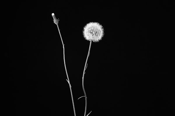 Make a Wish Photograph of Dandelions | Susan Michal Fine Art