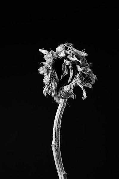 Wind Swept   Photograph of a Sunflower   Susan Michal Fine Art