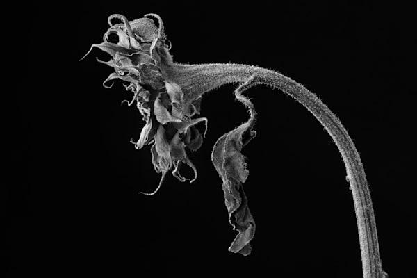 Final Bow Photograph of a Sunflower   Susan Michal Fine Art