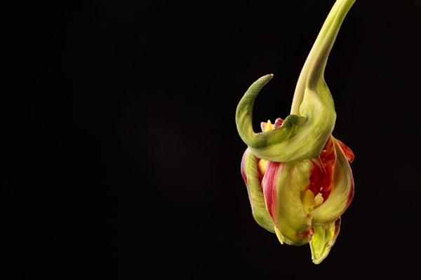 Anticipation | Photograph of a Parrot Tulip | Susan Michal Fine Art