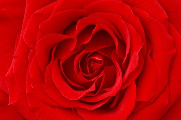Perfection| Flower Photograph | Susan Michal Fine Art | Shop