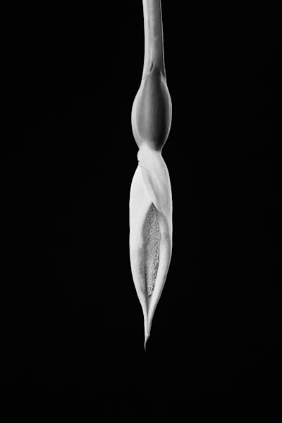 Regal | Photograph of a Flower Bud | Susan Michal Fine Art