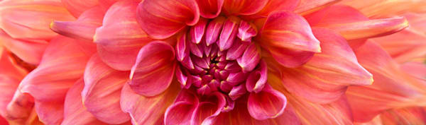 Shades of Pink Photograph of a Dahlia | Susan Michal Fine Art
