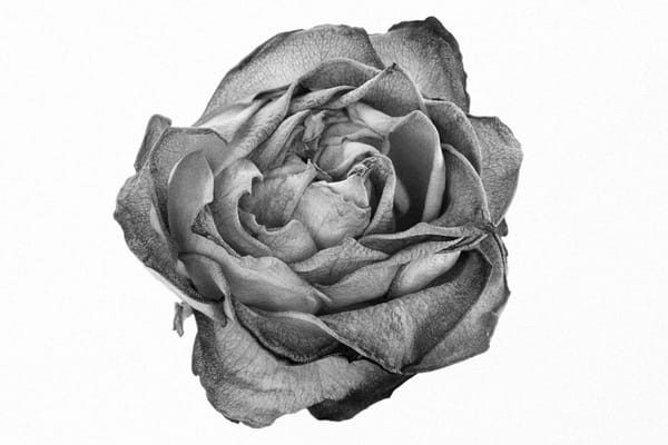 Alluring | Photograph of a Rose | Susan Mihal Fine Art