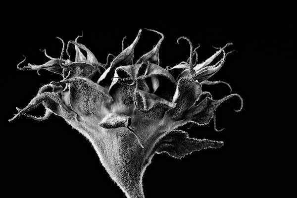 Finished | Photograph of a Sunflower | Susan Michal Fine Art