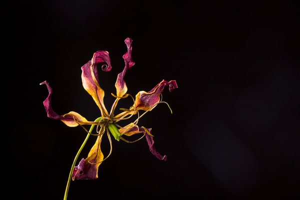 Frantic Photograph of a Withered Flower | Susan Michal Fine Art