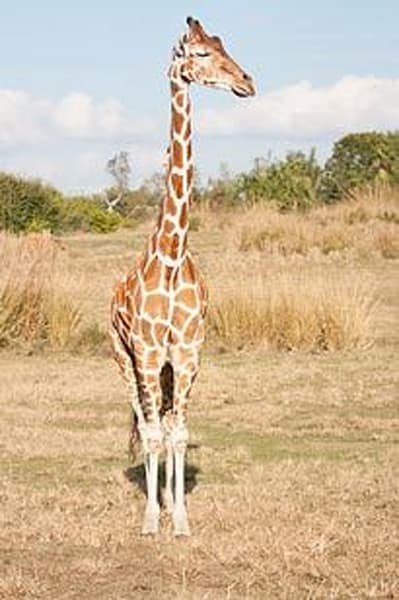 Exotic Animals - Giraffe I