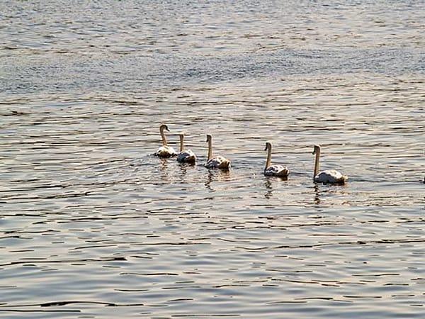 Swans (Sheepshead Bay)