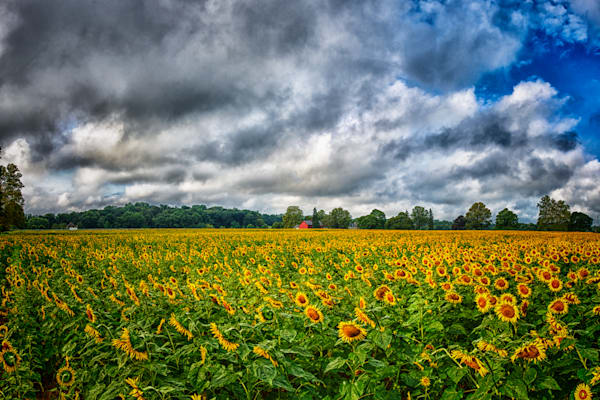 Sunflower Field Fine Art Photograph | JustBob Images