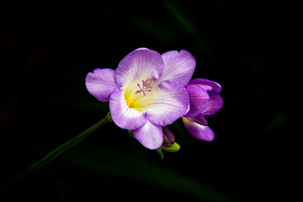 Purple Freesia Fine Art Photograph | JustBob Images