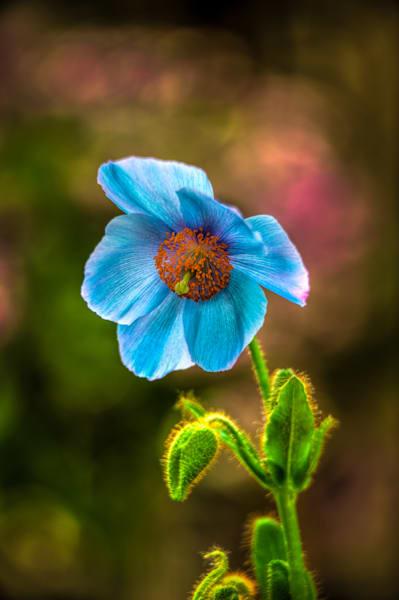 Blue Poppy Fine Art Photograph | JustBob Images