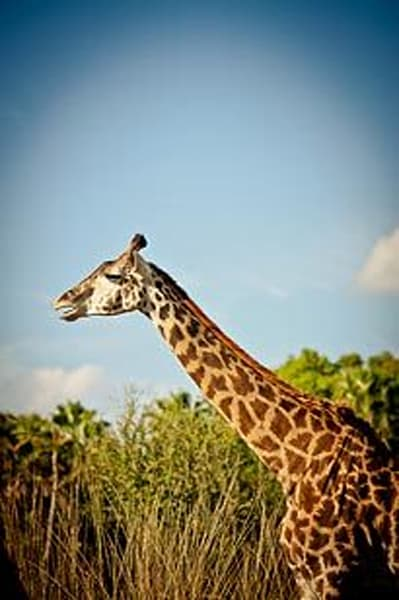 Exotic Animals - Giraffe II