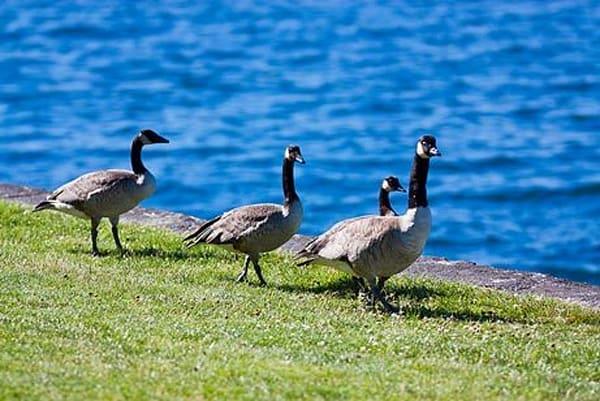 Geese by Water II