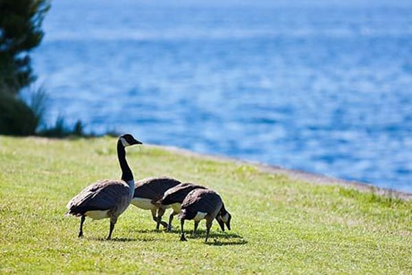 Geese by Water I