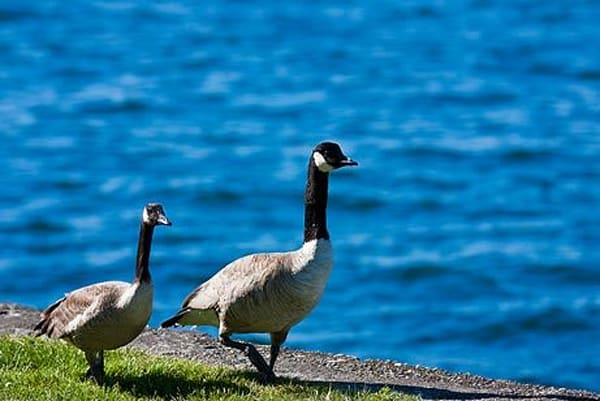 Geese by Water III