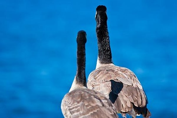 Geese by Water IV