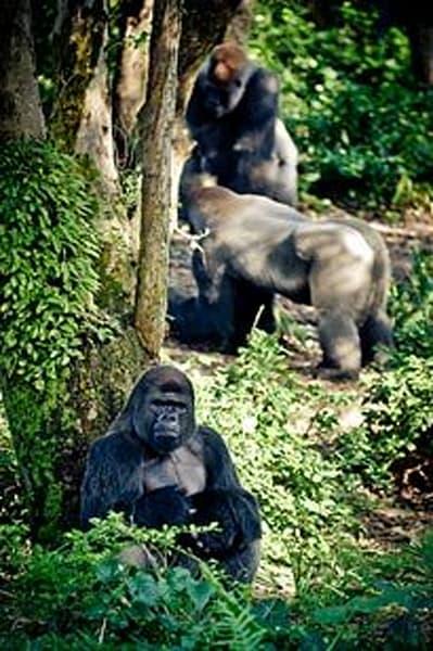 Exotic Animals - Gorillas