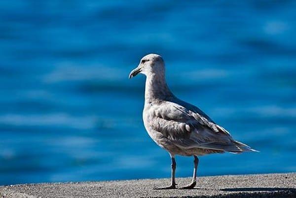 Gazing Seagull