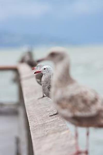 Perching Seagulls