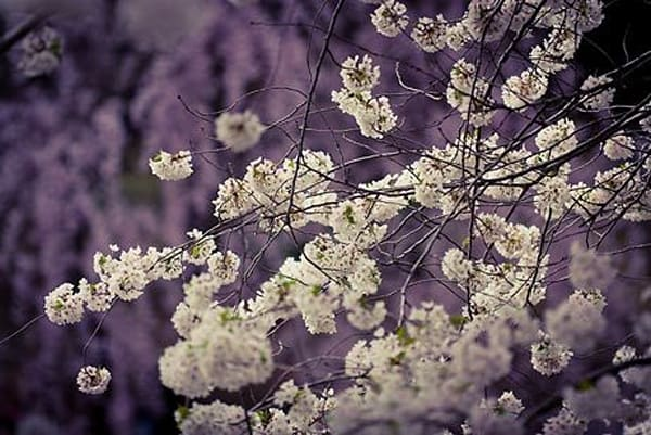 Blossoming Trees I