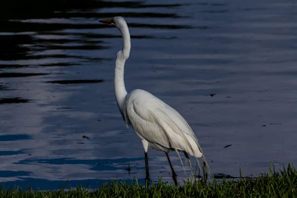 Fine Art Photograph of St. Augustine Heron by Michael Pucciarelli