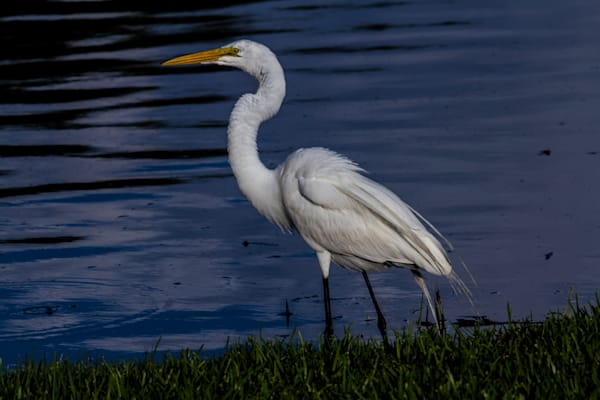Fine Art Photograph of A Typical St. Augustine Heron by Michael Pucciarelli