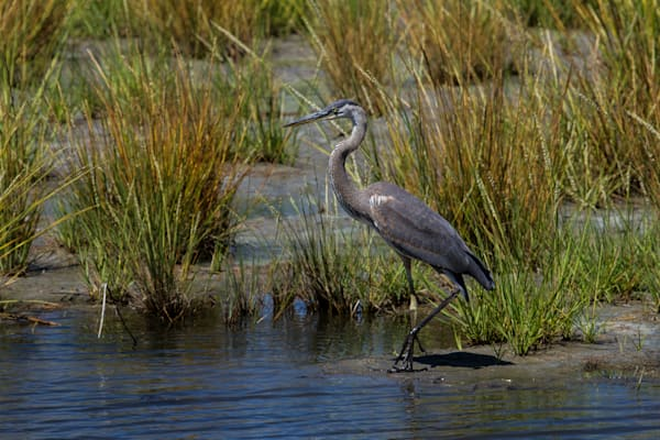 Fine Art Photograph of a Typical Assateague Heron by Michael Pucciarelli