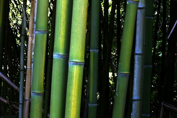 A Fine Art Photograph of Kensington Bamboo Forests by Michael Pucciarelli