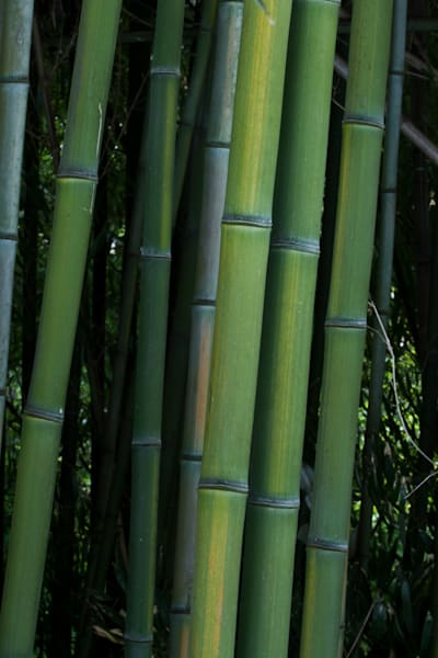 A Fine Art Photograph of a Bamboo Forest in Kensington by Michael Pucciarelli