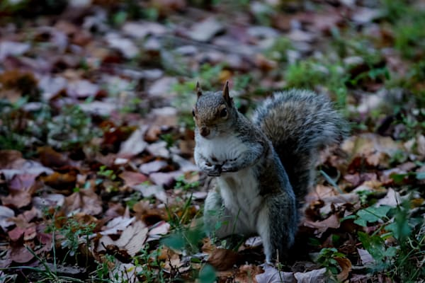 Fine Art Photograph of a Curious Squirrel in Washington DC by Michael Pucciarelli