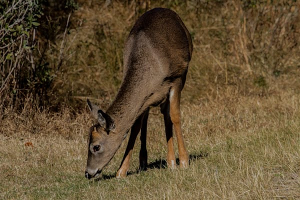 Fine Art Photograph of an Assateague Deer Eating by Micael Pucciarelli