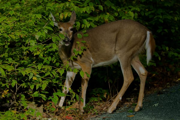 Fine Art Photograph of a Startled Deer in Shenandoah by Michael Pucciarelli