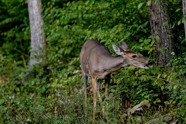 Fine Art Photographs of Shenandoah Deer by Michael Pucciarelli
