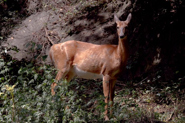 Wildlife of Deer in Harper's Ferry Fine Art Photographs by Michael Pucciarelli