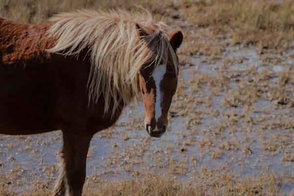 Fine Art Photograph of Assateague Pony by Michael Pucciarelli