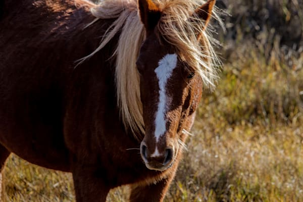 Fine Art Photograph of Maryland Assateague Pony by Michael Pucciarelli